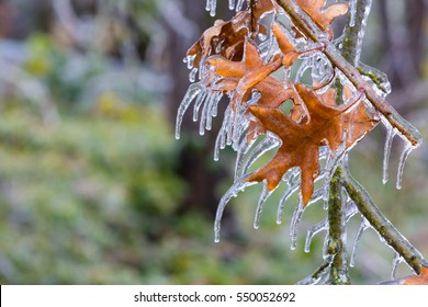 Odd shaped icicles hang from a few lonely oak leaves drooping from a branch coated in a thick shell of ice