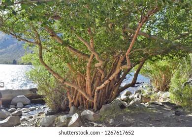 Odd shaped white-bark tree on shoreline of Convict Lake, California