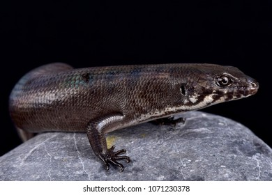 Odd-chinned Giant Skink (Eugongylus mentovarius) is a giant predatory skink species endemic to Halmahera island, Indonesia.