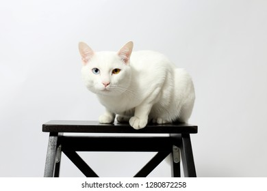 The odd-eyed cat sitting on the chair.