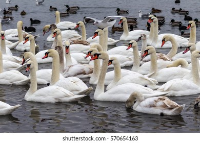 ODESSA, UKRAINE - February 2, 2017: White swans, wild ducks and gulls swimming in sea water in winter  Fighting seagulls beg for food from people. Birds wintering cold. People conservation of birds