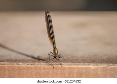 Odonata (Kiz Bocegi)