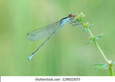 Odonata is an order of carnivorous insects, encompassing the dragonflies (Anisoptera) and the damselflies (Zygoptera). The Odonata form a clade, which has existed since the Permian