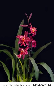 Odontioda Stirbic orchid. Cochlioda x Odontoglossum . Orchids flowers on banch on black background. Flowers of blossoming oncidium orchid