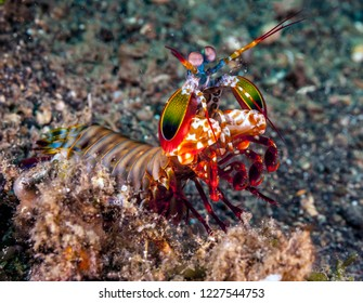 Odontodactylus scyllarus, known as the peacock mantis shrimp, is a large mantis shrimp