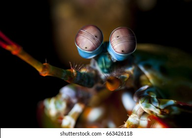 Odontodactylus scyllarus, known as the peacock mantis shrimp, harlequin mantis shrimp, painted mantis shrimp, or clown mantis shrimp