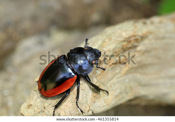 Odontolabis gazella beetle female in South Vietnam