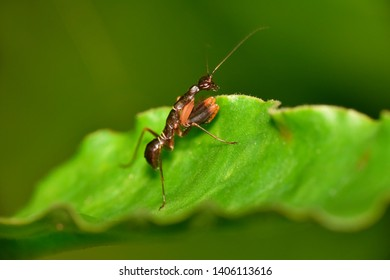 Odontomantis planiceps, Asian ant mantis species of praying mantis, Hyderabad, Telangana, India.