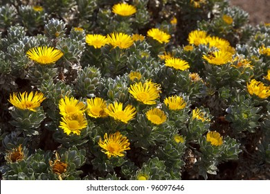 Odontospermum sericeus (Asteriscus sericeus) (Canary Island Daisy) is a species of Asteriscus native to the Canary Islands.