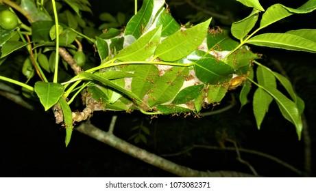 Oecophylla smaragdina (DIMIYA) NEST