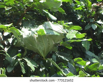 Oecophylla smaragdina Fabricius