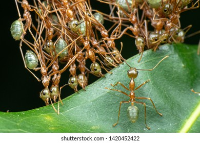 Oecophylla smaragdina, green weaver ants, working together to sew leaves and make a nest