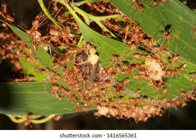 Oecophylla smaragdina nest. Common names weaver ant, green ant, green tree ant, and orange gaster.