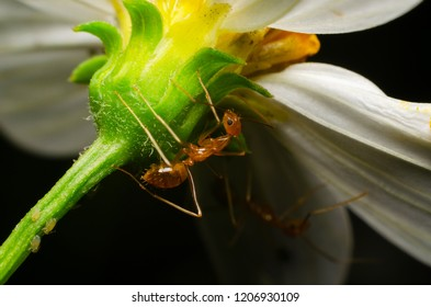 Oecophylla smaragdina (red ant) under white flower on black background