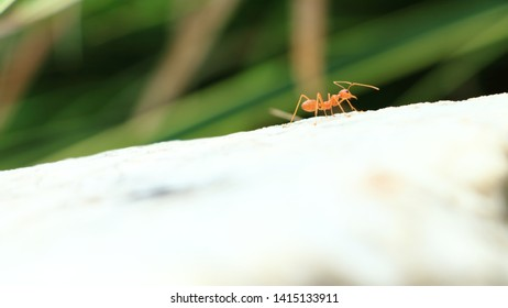 Oecophylla smaragdina is walking on the stone. Selective focus with blur background, Selective focus with blur background