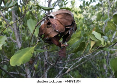 Oecophylla smaragdina / weaver ant / tree ant nest found in tropical of asia and australia