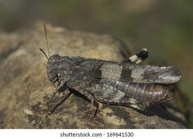 Oedipoda caerulescens, Blue-winged Grasshopper