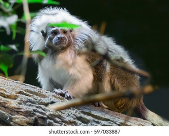 Oedipus Tamarin or monkey pinch Oedipus Tamarin or Oedipus marmoset, or pinch it kind of marmoset monkeys. This is a unique species living in South America. He leads a daily, arboreal lifestyle.