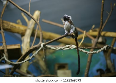 Oedipus tamarin, monkey, primacy sits on a branch indoors, in captivity, in a zoo, looks up