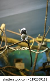 Oedipus tamarin, monkey, primacy sits on a branch indoors, in captivity, in a zoo, looks aside