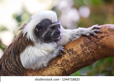 Oedipus tamarin on a branch.