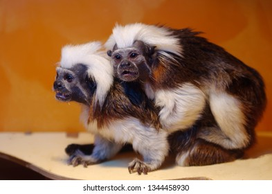 Oedipus tamarin - small monkeys of the marmoset family. Unusual cute animals.