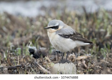 Oenathe, male in natural habitat