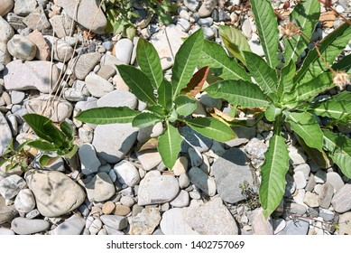 Oenothera biennis plants in a riverbank