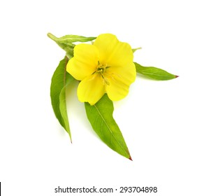 Oenothera flower isolated.