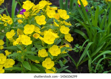 Oenothera may have originated in Mexico and Central America. Some Oenothera plants have edible parts. The roots of O. biennis are reported to be edible in young plants. - Shutterstock ID 1436106299