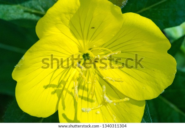 Oenothera May Have Originated Mexico Central Stock Photo (Edit Now