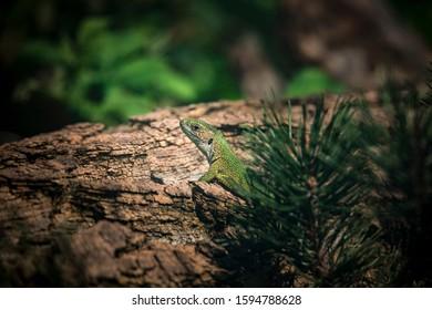 Oestliche Smaragdeidechse, Lacerta viridis, European green lizard, the best photo. - Shutterstock ID 1594788628
