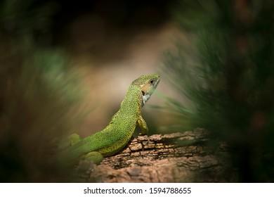 Oestliche Smaragdeidechse, Lacerta viridis, European green lizard, the best photo. - Shutterstock ID 1594788655