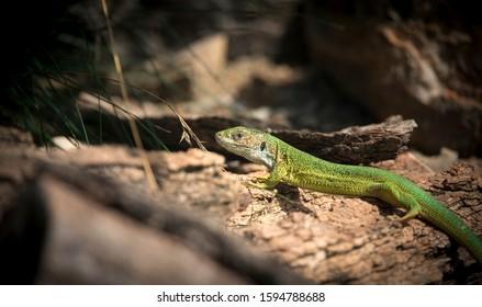 Oestliche Smaragdeidechse, Lacerta viridis, European green lizard, the best photo. - Shutterstock ID 1594788688