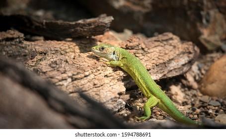 Oestliche Smaragdeidechse, Lacerta viridis, European green lizard, the best photo. - Shutterstock ID 1594788691