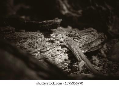 Oestliche Smaragdeidechse, Lacerta viridis, European green lizard, the best photo. - Shutterstock ID 1595356990