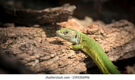 Oestliche Smaragdeidechse, Lacerta viridis, European green lizard, the best photo. - Shutterstock ID 1595356996