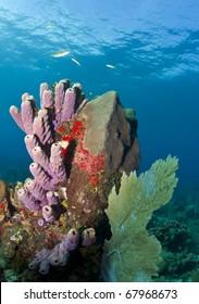Off the coast of Roatan Honduras. coral gardens