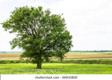 Off-center single tree with farmland in the background