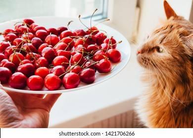 Offering cherries to red cat side view. Hand holding white plate with sweet summer berries. Funny meal choice for domestic animal, pet. Vegetarian cat owner seducing kitty with delicious dessert