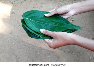 Offering a sheaf of betel laves during new year. Traditional sri lankan custom. Betel leaves are one of the key players in Balinese offerings.