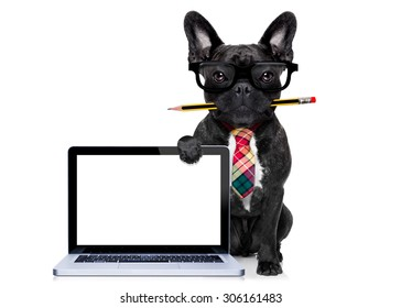 office businessman french bulldog dog with pen or pencil in mouth behind a  blank pc computer laptop screen , isolated on white background