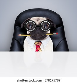 office businessman pug  dog  as  boss and chef , busy and burnout , sitting on leather chair and desk
