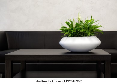 Office Interior Element: White Pot Of Green Houseplant Spathiphyllum On Dark-Brown Table Near A Black Leather Sofa. Green Office Plant In White Pot. Idea For Home Interrior Decoration. Flower In Pot
