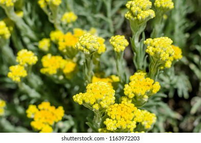 500 Immortelle Fleur Pictures Royalty Free Images Stock Photos