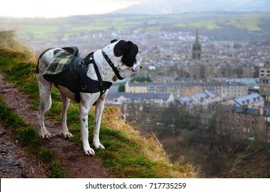 A off-leash dog hiking and looking at Edinburgh city from hill in Holyrood park