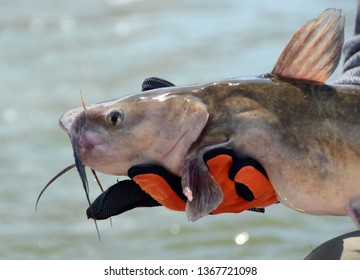 An offset head on view of a channel catfish head and barbels held in an anglers orange and black gloved hands over green flowing water on a sunny day