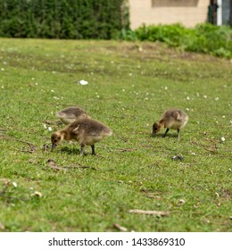the offspring of a geese family grazing on a meadow in Hamburg, Germany