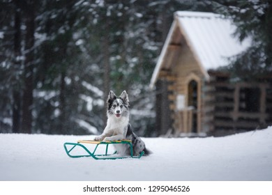 og on a sled in the winter. Pet plays on the nature in the forest