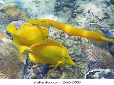 Ogasawara Islands Snorkeling (Japan). Two Yellow Tang Fishes and Yellow Trumpet Fish swim togather.